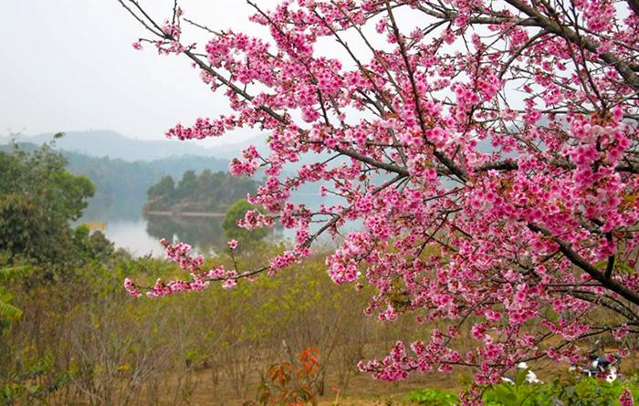 Điểm nhấn của chương trình là bán đảo hoa anh đào trên hồ Pá Khoang